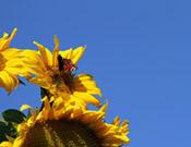 Motiv-Sonnenblume