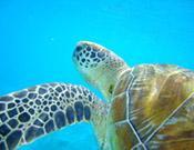 Unterwasser Schildkröte